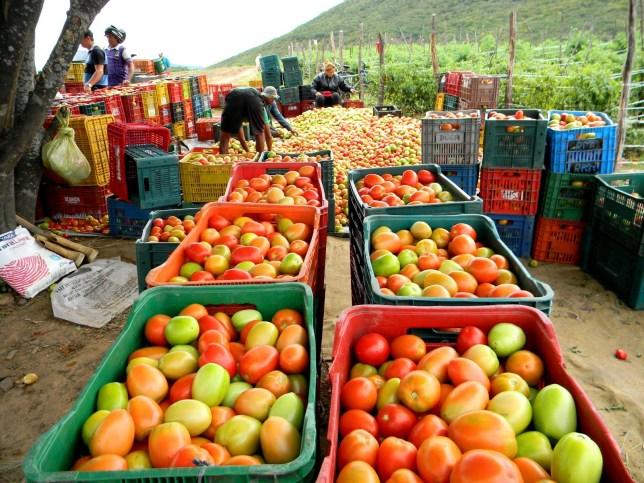 Colheita da super-safra de tomate na fazenda Gostosura em Quixeramobim-Ce 04