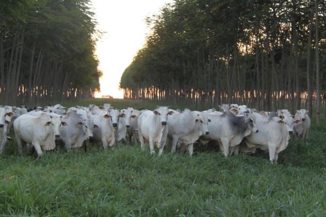 Foto Integração lavoura pecuária - Embrapa